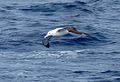 Wandering Albatross 49 (3449627003).jpg