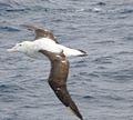 Wandering Albatross 50 (3449627329).jpg