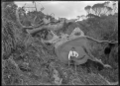 Waste timber; the unusable part of a felled kauri tree, near Piha. ATLIB 135982.png