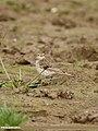 Water Pipit (Anthus spinoletta) (34455793655).jpg