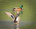 Waving the wings (33194979113).jpg