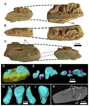 Weewarrasaurusholotype.jpg