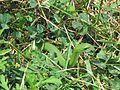 Western Smooth Green Snake, Opheodrys vernalis blanchardi - Flickr - GregTheBusker.jpg