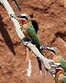 White-fronted Bee-eater, Merops bullockoides, at Ezemvelo Nature Reserve, near Bronkhorstspruit, South Africa (22598818712).jpg