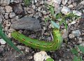 White-lined Sphinx Caterpillar - Flickr - treegrow.jpg