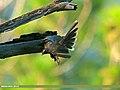 White-throated Fantail (Rhipidura albicollis) (20661417855).jpg