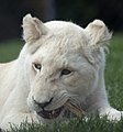 White Lion 2 (5017741363).jpg