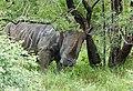 White Rhino (Ceratotherium simum) scratching its neck ... (50671639166).jpg