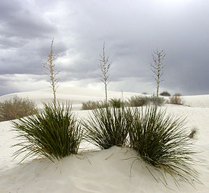 Tularosa Basin - White gypsum sand and Yucca (''Yucca elata'') plants, in Tularosa Basin at White Sands National Monument.