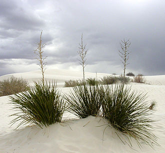 Tularosa Basin - White gypsum sand and Yucca (Yucca elata) plants, in Tularosa Basin at White Sands National Monument.