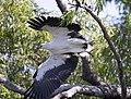White bellied sea eagle 1 (14955677676).jpg