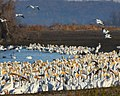 White pelicans staging at Squaw Creek NWR (6366886293).jpg