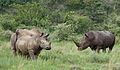 White rhinoceros or square-lipped rhinoceros, Ceratotherium simum. Note that in some of these photos there are a female with a calf, and a male that seems to have been challenging the calf. (17339433651).jpg