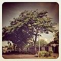 Why tree - panoramio.jpg