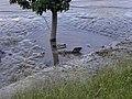Wien - Juni 2013 Hochwasser - Enten im Schlamm.jpg