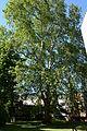 Wiener Naturdenkmal 531 - Morgenländische Platane (Hietzing) d.JPG