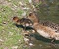 Wigeon (Anas penelope) parenting.jpg