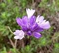 Wild Hyacinth Flowers - Dichelostemma capitatum (8628188083).jpg