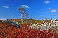 Wild blueberry fields in the fall near Parrsboro (2).jpg