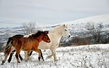 Wild horses, Šar Mountains.jpg