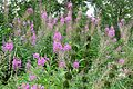 Willow Herb in Monkswood. - Flickr - gailhampshire.jpg
