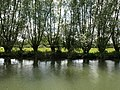 Willow by the Thames - geograph.org.uk - 872834.jpg