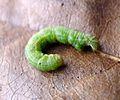 Winter Moth larvae. Operophtera brumata - Flickr - gailhampshire.jpg
