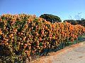 Winter flowers in Brisbane in July 02.JPG