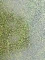 Wolffia columbiana sl1.jpg