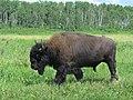 Woodland Bison (38444937515).jpg