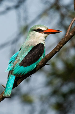 Woodland Kingfisher6.jpg