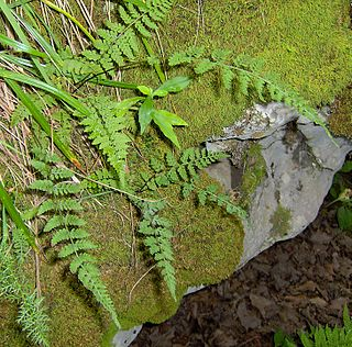 <i>Woodsia obtusa</i> species of plant