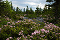 Wv-mountain-field-wildflowers - West Virginia - ForestWander.jpg