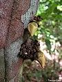 Xylopia ochrantha, pindaíba - Flickr - Tarciso Leão (5).jpg