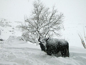 Shivering yak.. Forever Winter