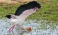 Yellow-billed Stork (Mycteria ibis) fishing with one wing open to create a shadow ... (33301746465).jpg