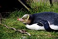 Yellow-eyed Penguin (Megadyptes antipodes).jpg