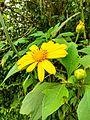 Yellow Asteraceae.jpg