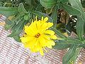 Yellow Flower in Sapin.jpg