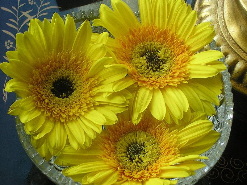 Ficheiro:Yellow gerberas.JPG