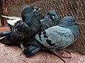 Young pigeons at manakamana temple.jpg
