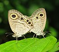 Ypthima huebneri – Common Four-ring mating 33.jpg