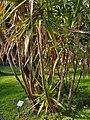 Yucca elephantipes001.jpg