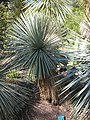 Yucca linearfolia JOT.jpg