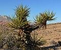 Yucca schidigera 14.jpg