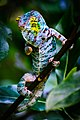 Zürich Zoo Panther Chameleon (17015648490).jpg