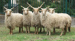 Racka - A flock of Racka sheep