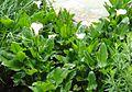 Zantedeschia aethiopica childsi 1.JPG