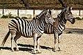 Zebra 01.jpg