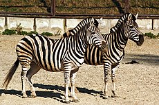 zebra ウィクショナリー日本語版